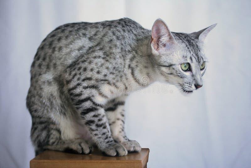 Het zilver bevlekte Egyptische Mau op een voetstuk royalty-vrije stock foto