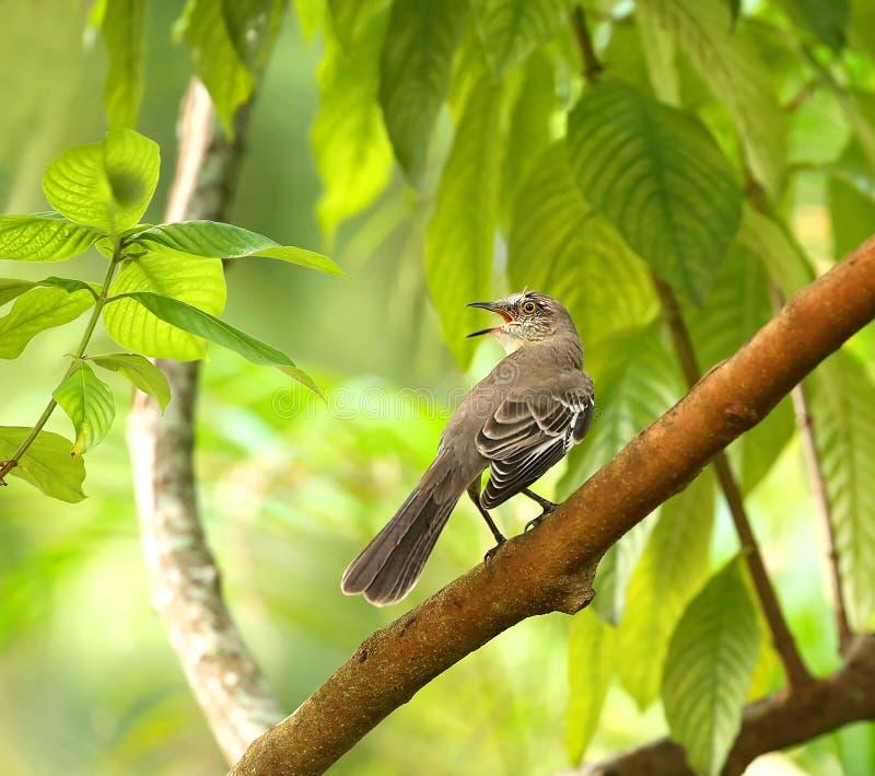 Het zingen noordelijke het bespotten vogel stock fotografie