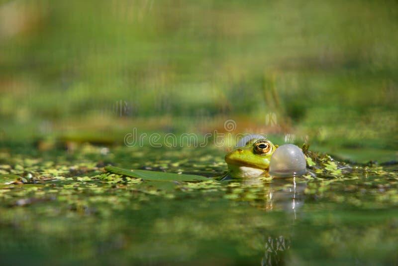 Het zingen van de kikker in de vijver stock foto's