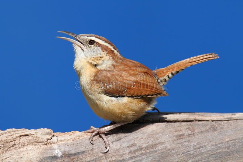 Het Zingen van de vogel in de Lente royalty-vrije stock afbeelding