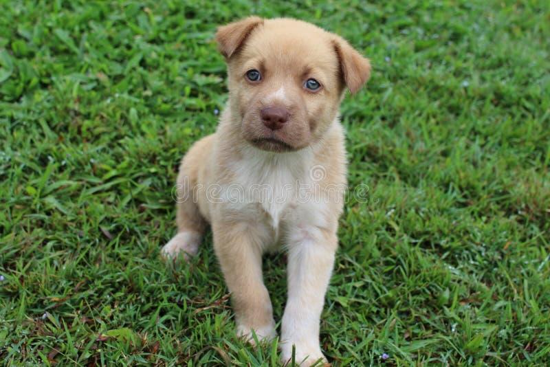 Het Zingen van Nieuw-Guinea de Hond gemengde zitting van het rassenpuppy stock afbeeldingen