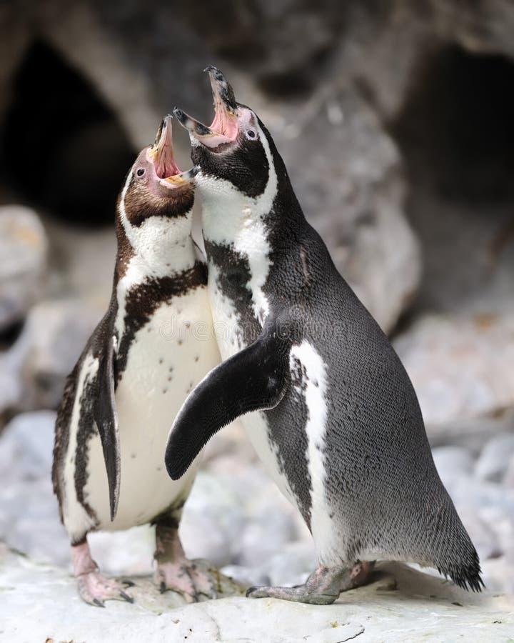 Het zingende duet van de pinguïn royalty-vrije stock foto