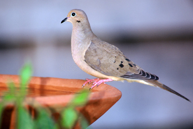 Download Het Zitten Op Het Bad Van De Vogel Stock Foto - Afbeelding bestaande uit zitting, duif: 42010