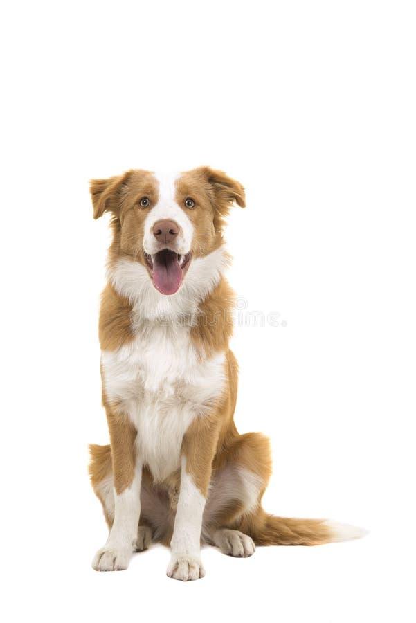 Het zitten van rode border collie-hond die de camera met mond o bekijken royalty-vrije stock foto