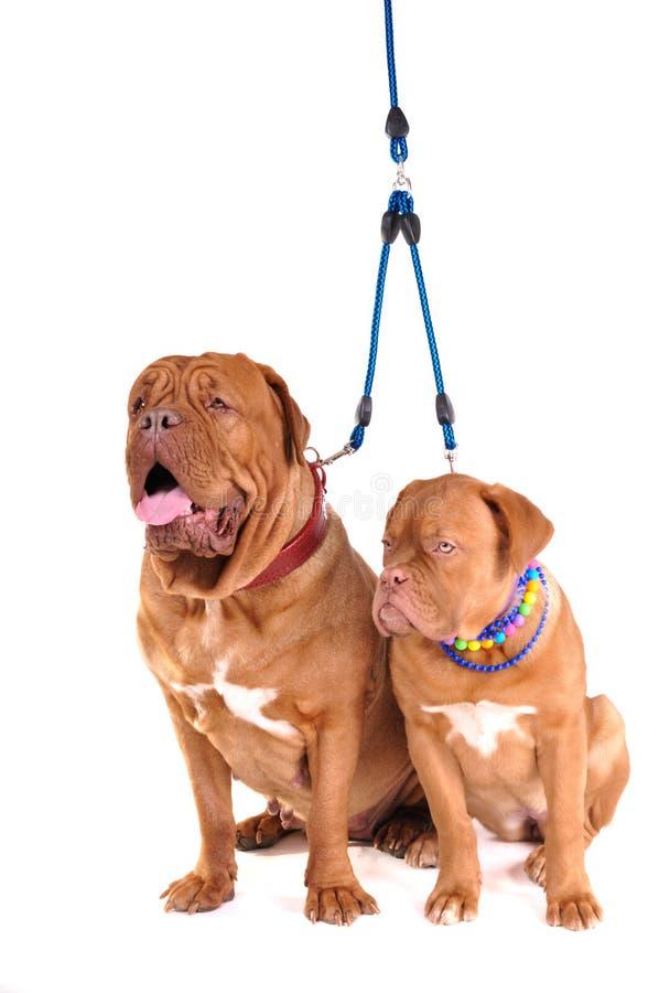 Het Zitten van twee Honden stock foto's