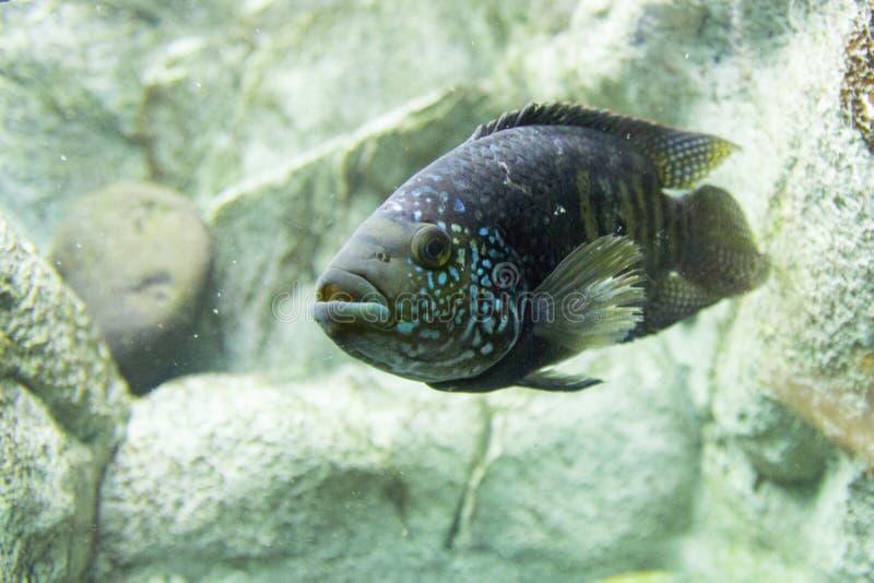 Het Zoölogische Park van Novosibirsk Aquarium met vissen en installaties stock afbeelding
