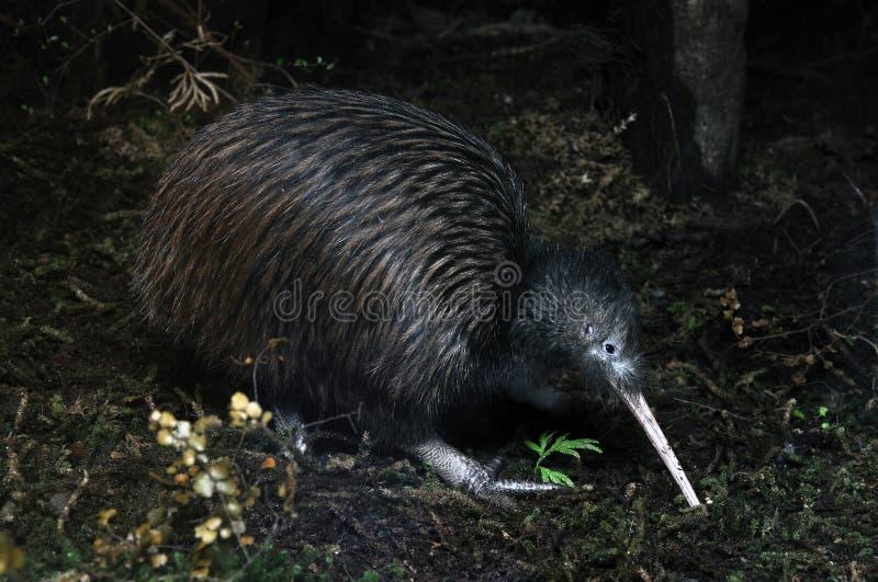 Het zoeken van de kiwi royalty-vrije stock foto