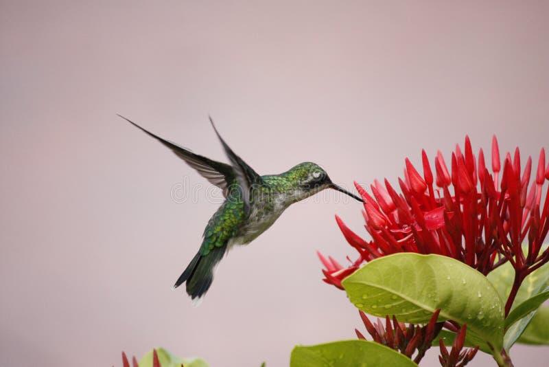 Het zoemen het levitatie ondergaan van de Vogel royalty-vrije stock afbeeldingen