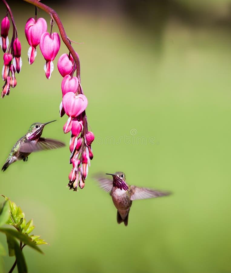 Het zoemen vogel het voeden