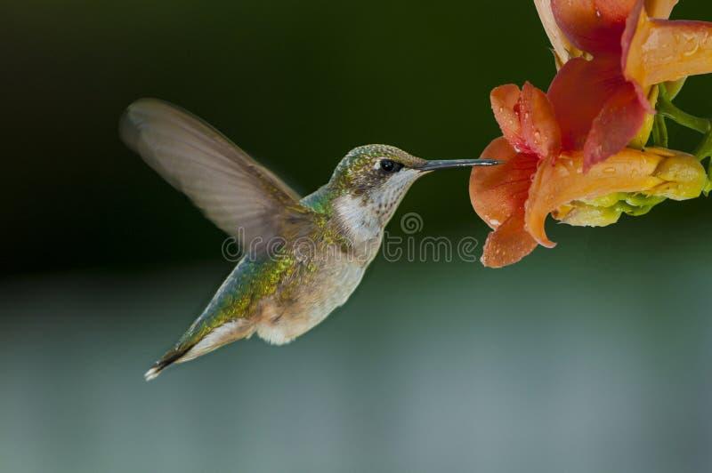 Het zoemen vogels het voeden royalty-vrije stock afbeelding