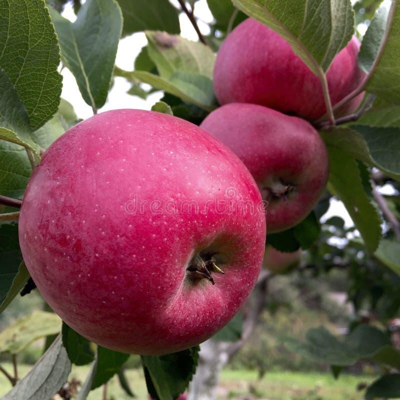 Het zoete fruitappel groeien op boom met groene bladeren stock afbeelding