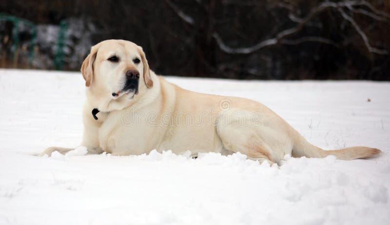 Het zoete labrador retriever-spelen in sneeuw, mooie beste hond royalty-vrije stock foto's