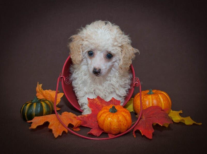 Het zoete Puppy van de Dalingspoedel stock foto