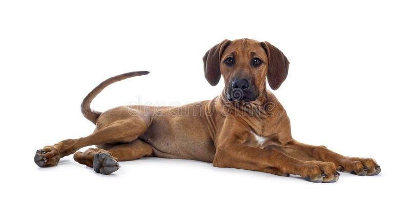 Het zoete puppy van Rhodesian Ridgeback op wit royalty-vrije stock afbeeldingen