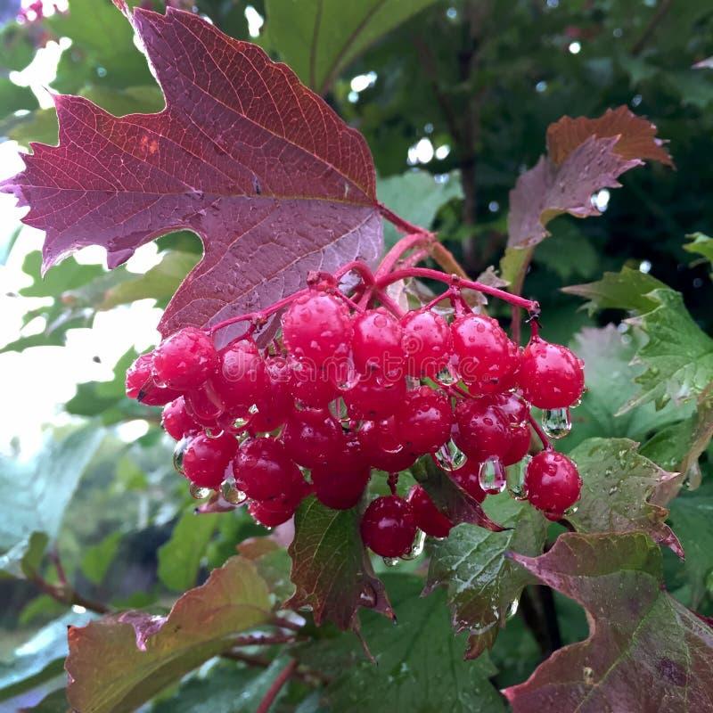 Het zoete rode bessenviburnum groeien op struik met groene bladeren stock foto