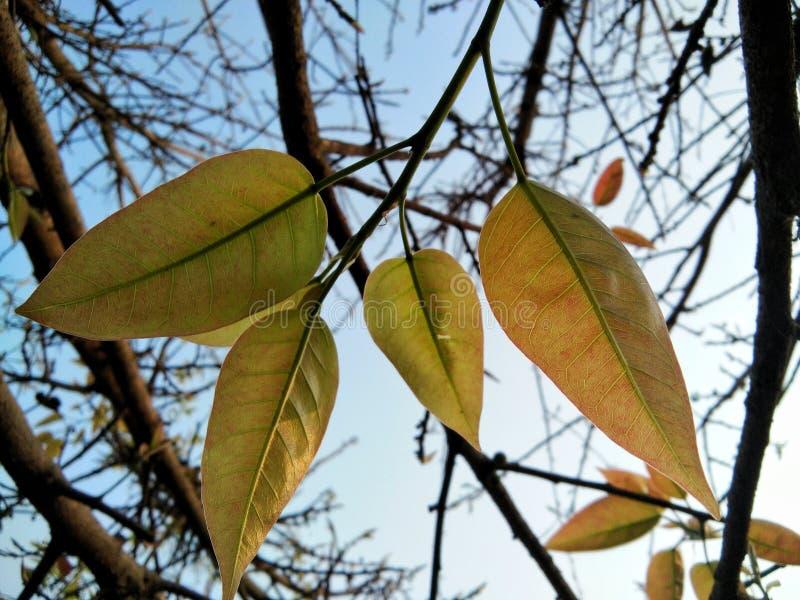 Het zonlicht mobiele fotografie van de herfstbladeren royalty-vrije stock afbeeldingen