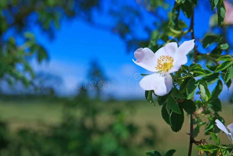 Het zonlicht op roze wild nam toe stock foto's