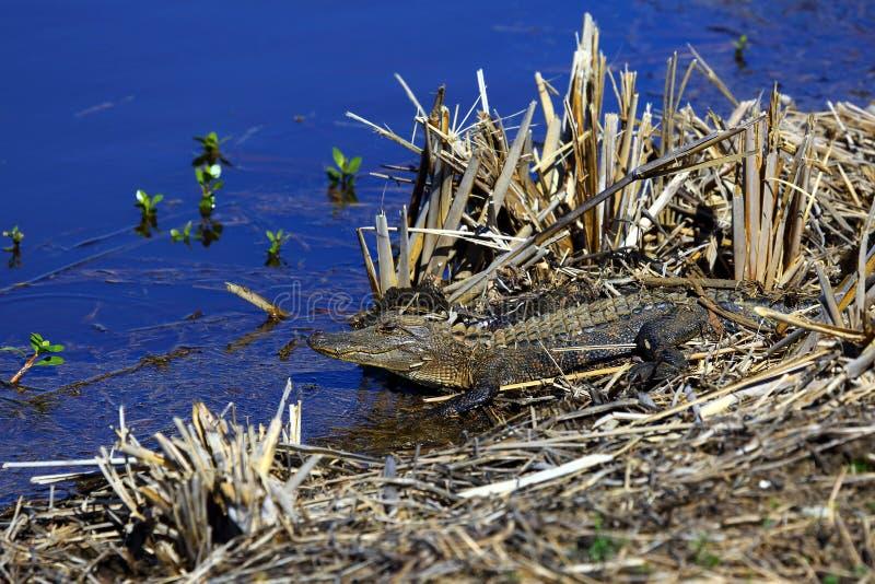 Het zonnebaden Amerikaanse Alligator royalty-vrije stock fotografie