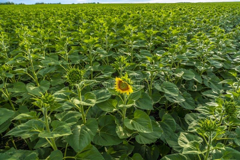 Het zonnebloemgebied, de eerste opende bloem op het gebied van groene zonnebloemknoppen stock fotografie