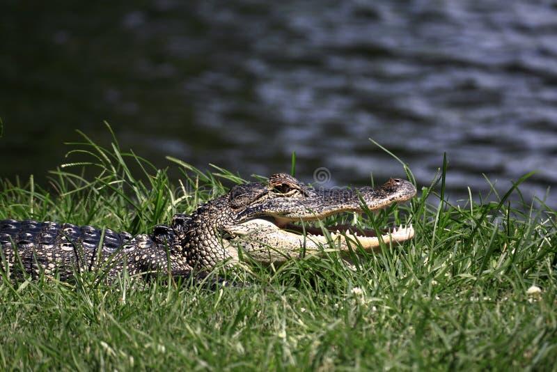 Het zonnen van alligator stock afbeeldingen