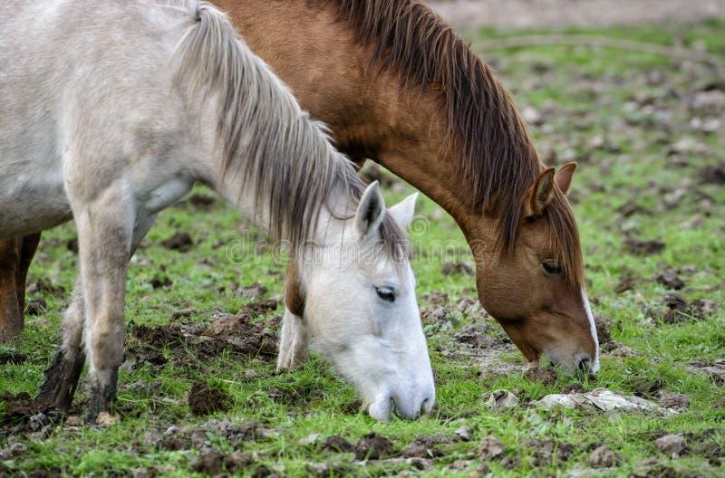 Het zoute paar van het Rivierwild paard royalty-vrije stock fotografie
