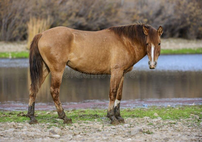 Het zoute portret van het Rivierwild paard royalty-vrije stock foto's