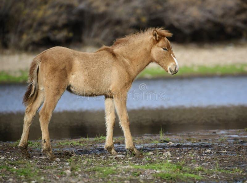 Het zoute veulen van het Rivierwild paard royalty-vrije stock foto