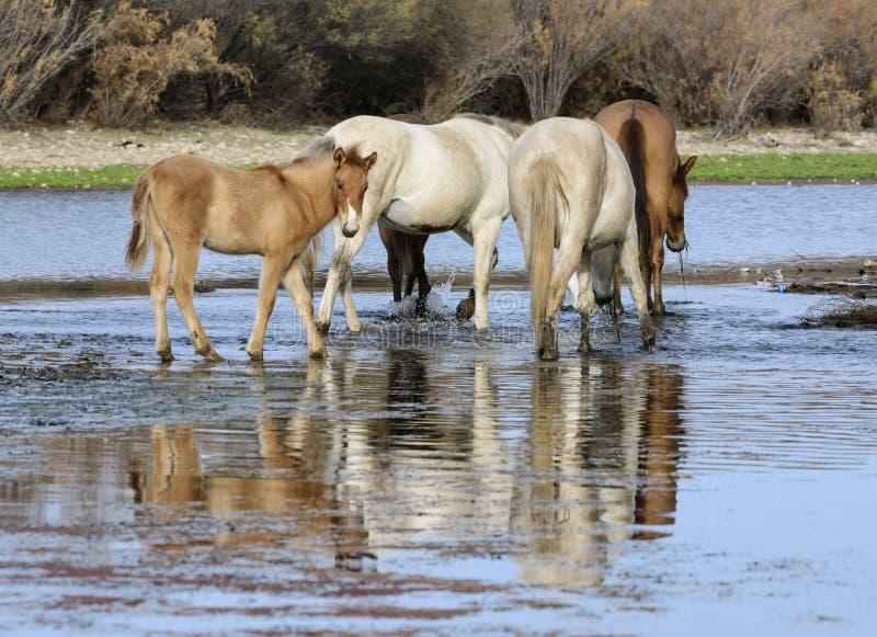 Het zoute veulen van het Rivierwild paard in rivier stock afbeeldingen