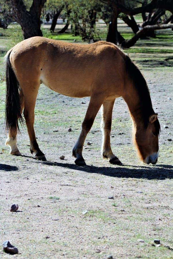 Het zoute Wild paard van de Riviercanion royalty-vrije stock afbeelding