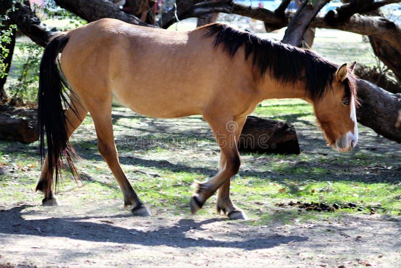 Het zoute Wild paard van de Riviercanion royalty-vrije stock afbeeldingen