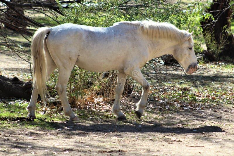 Het zoute Wild paard van de Riviercanion stock foto