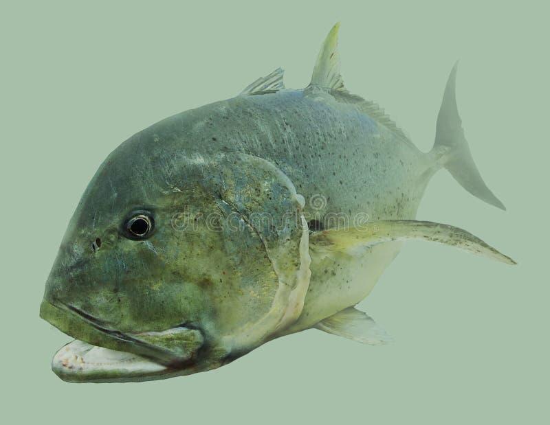 Het Zoutwater van GT Reuzetrevally Visserijportret royalty-vrije illustratie