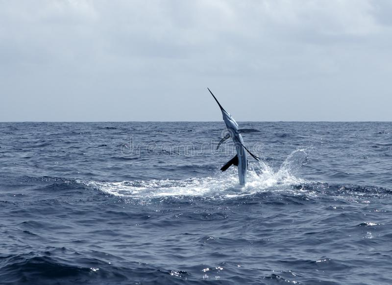 Het zoutwatersport van de zeilvis visserij het springen stock afbeeldingen
