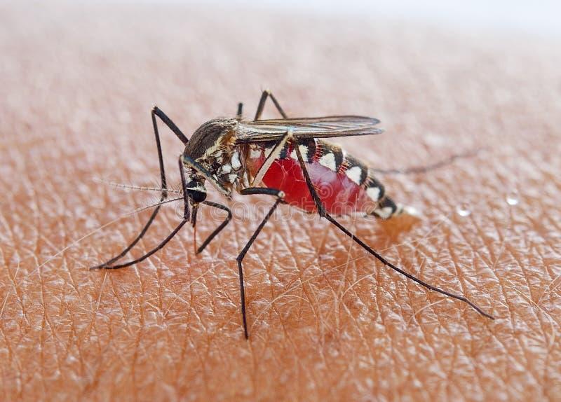 Het zuigende bloed van de mug royalty-vrije stock afbeeldingen