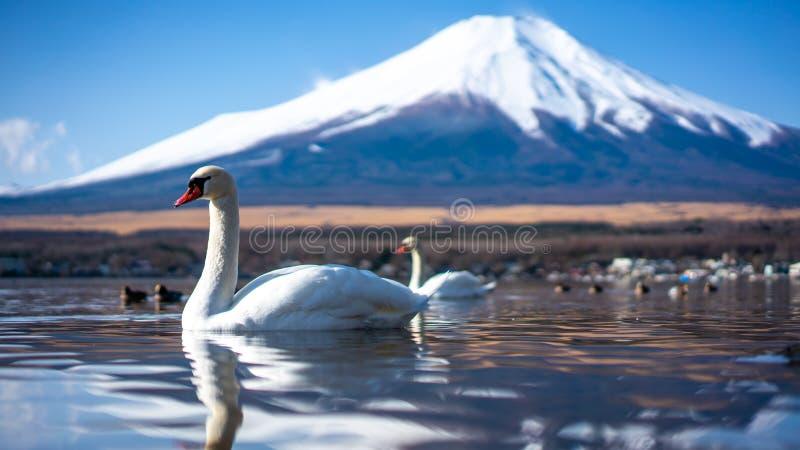 Het zwaanmeer met Fuji zet Achtergrond op royalty-vrije stock foto's
