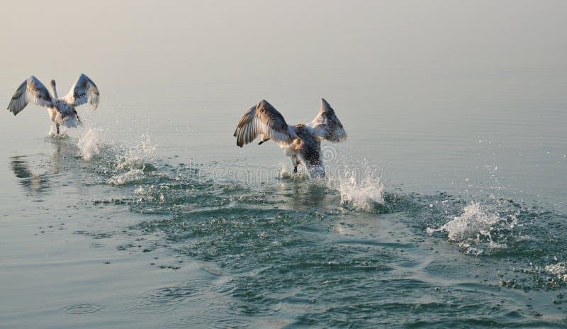 Het zwaanpaar dacht in het water van Meer Balaton na terwijl het opstijgen royalty-vrije stock foto