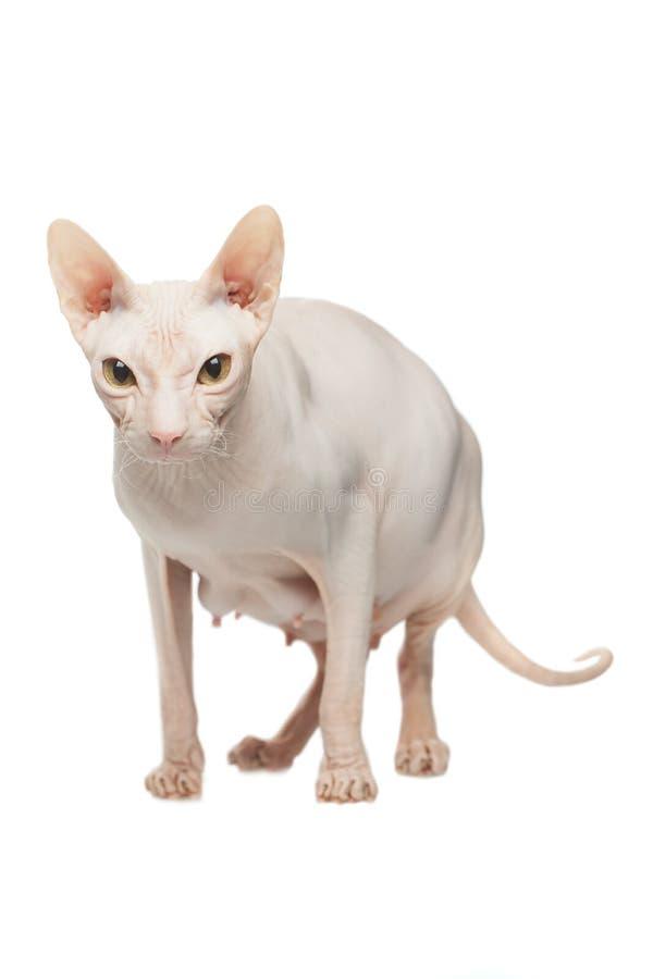 Het zwangere kale de kat van Sphynx stellen op een witte achtergrond stock afbeelding