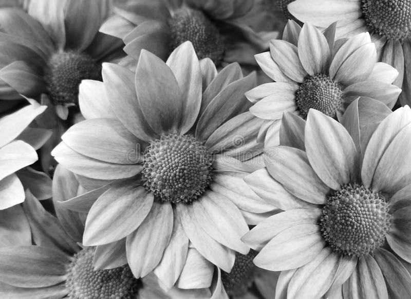 Het zwart-wit van bloemenmadeliefjes Close-up bloemencollage De samenstelling van de lente stock illustratie
