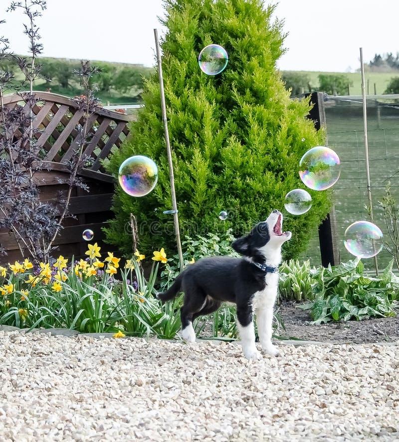 Het zwart-witte Border collie-puppy spelen met bellen stock foto