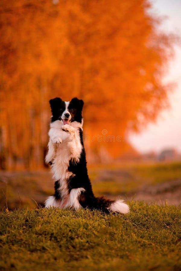 Het zwart-witte verblijf van hondborder collie op gras Zonsondergang geel bos op achtergrond De herfst stock afbeeldingen