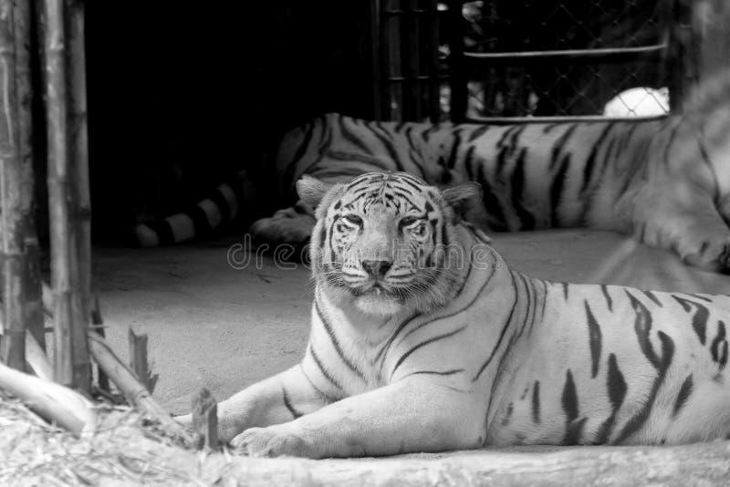 Het zwart-witte Wild van witte tijger in de dierentuin stock afbeeldingen