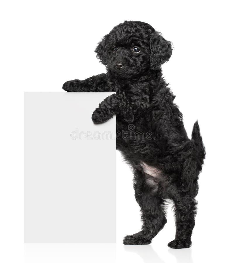 Het zwarte de poedelpuppy van het Stuk speelgoed houdt een banner royalty-vrije stock foto's
