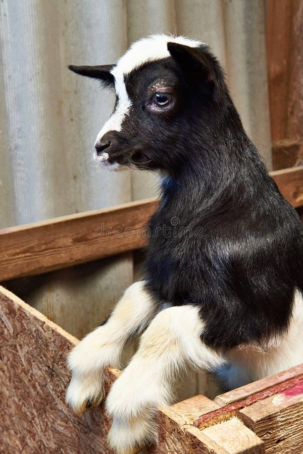 Het zwarte geitjonge geitje drijft binnen op landbouwbedrijf bijeen royalty-vrije stock foto
