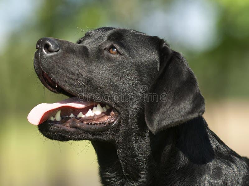 Het zwarte hoofd van Labrador royalty-vrije stock foto