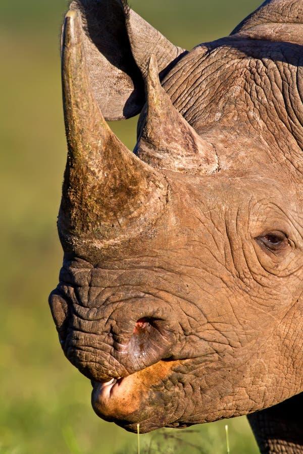 Het zwarte hoofdschot van de Rinoceros stock fotografie