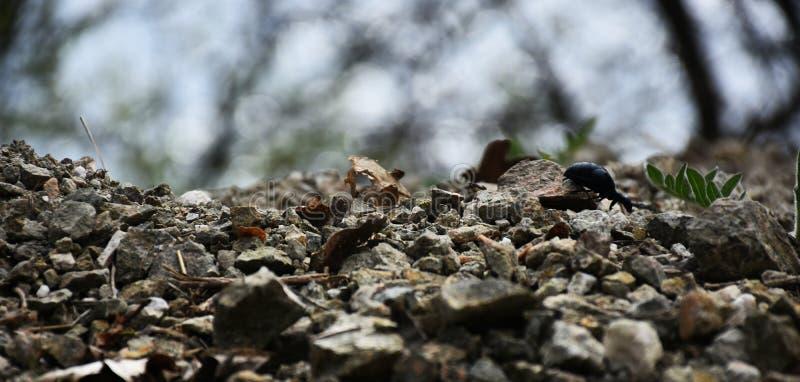 Het Zwarte Insect royalty-vrije stock afbeeldingen