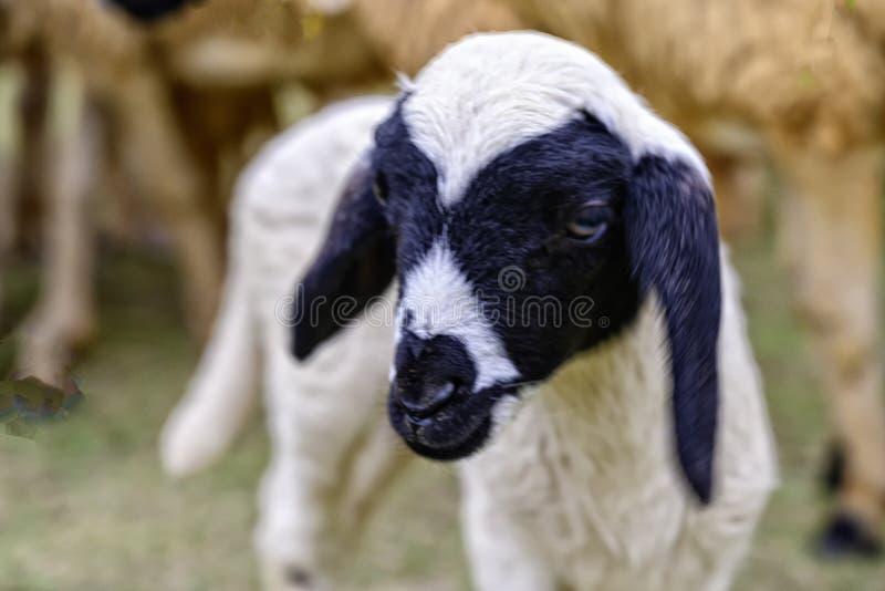 Het zwarte lam heeft slechte ogen Het zoekt zijn moeder royalty-vrije stock foto's