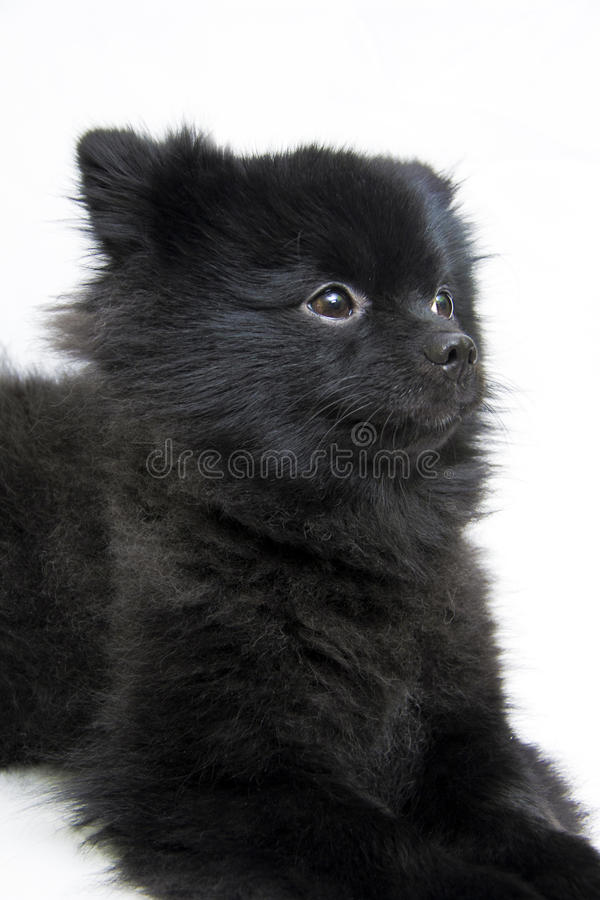 Pomeranian ligt stock afbeelding
