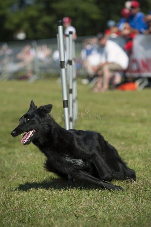 Het zwarte Lopen van de Hond stock afbeeldingen