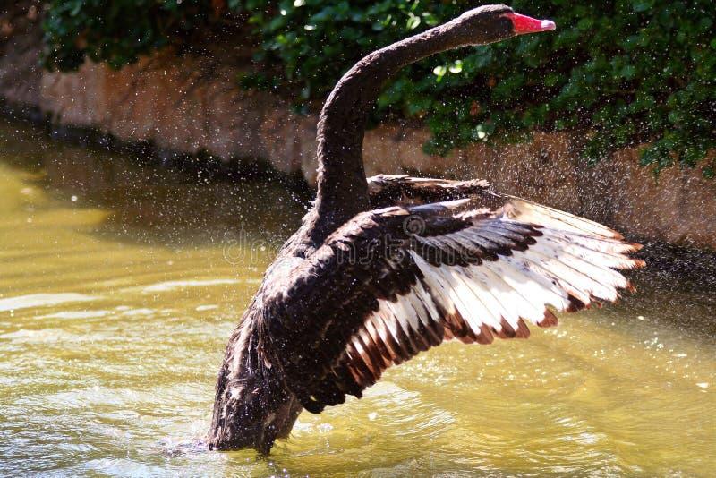 Het zwarte opstijgen van de Zwaan stock afbeelding